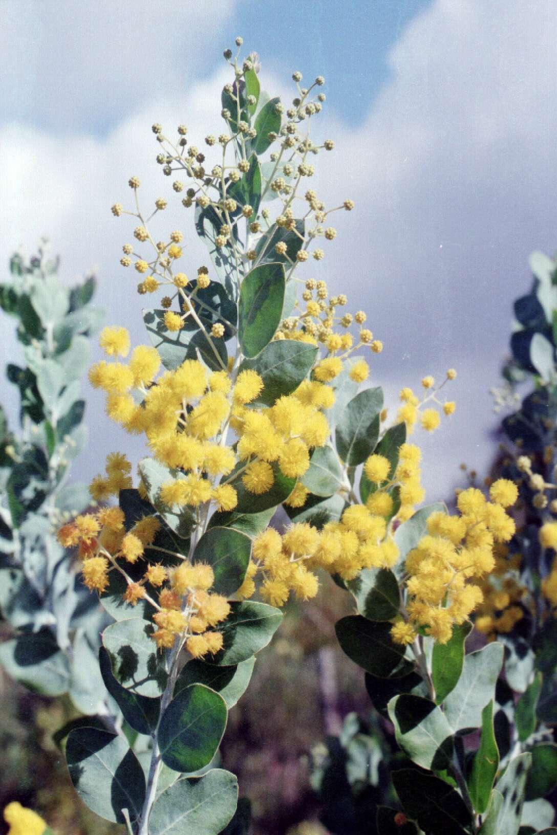 Acacia Podalyriifolia Queensland Silver Wattle Burringbar